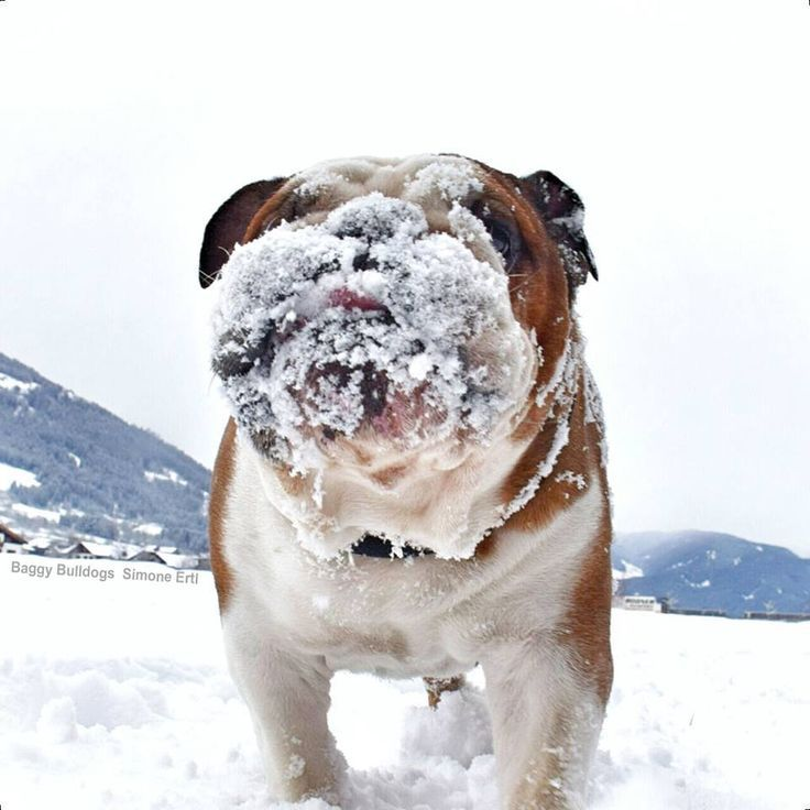 bulldog with snow on his face