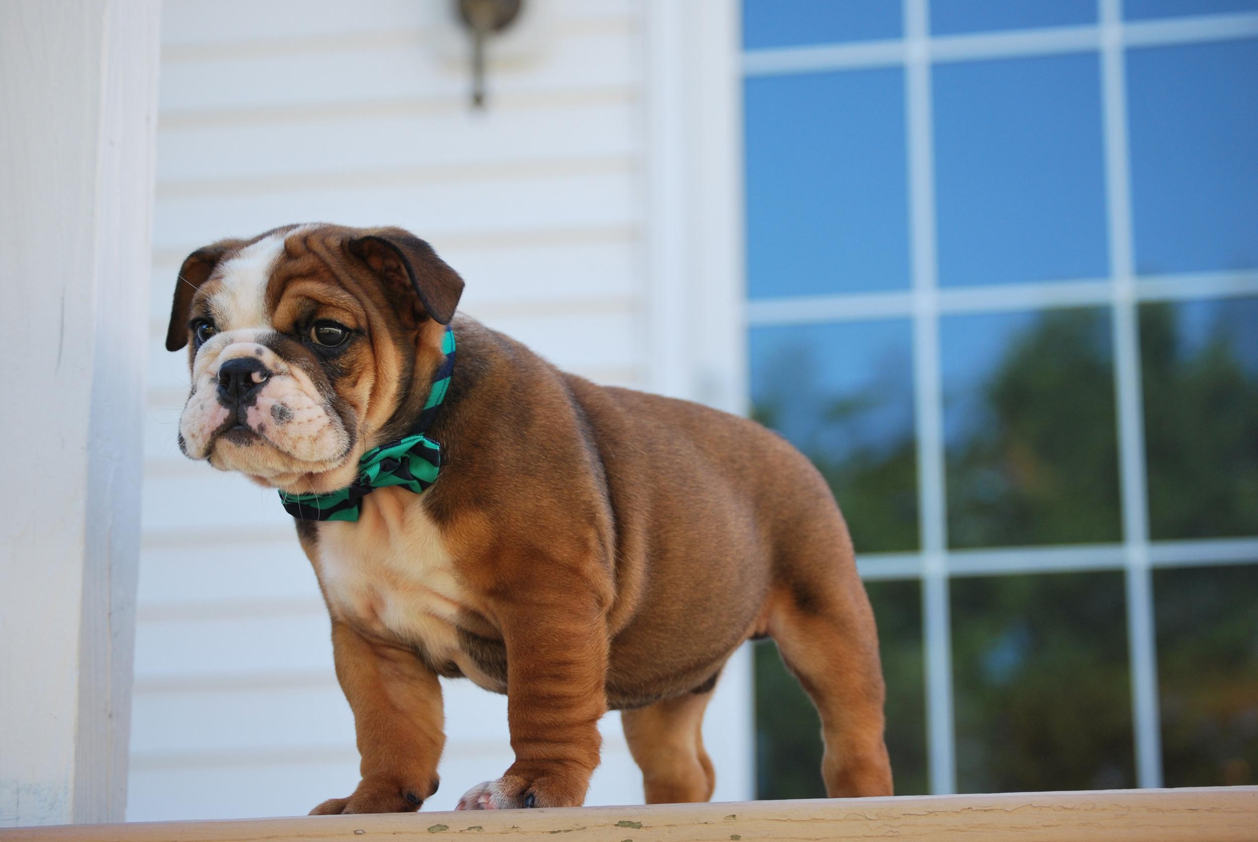 bulldog puppy with bowtie