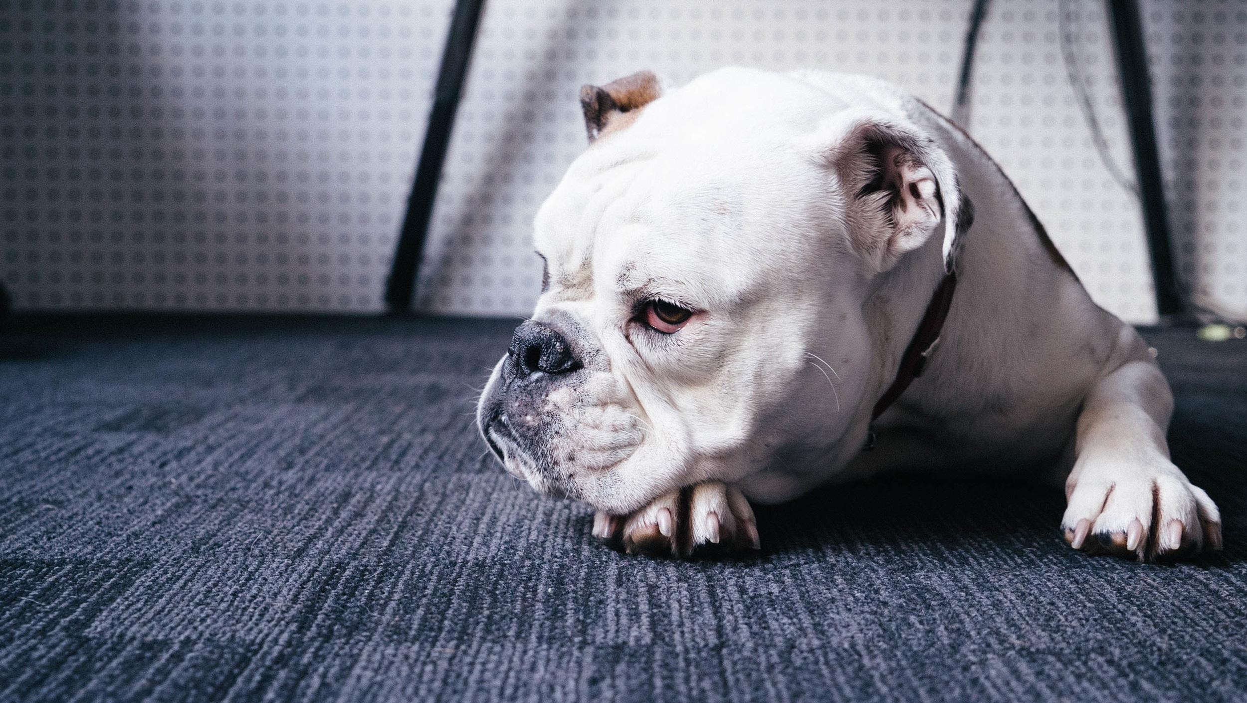 white bulldog lying down
