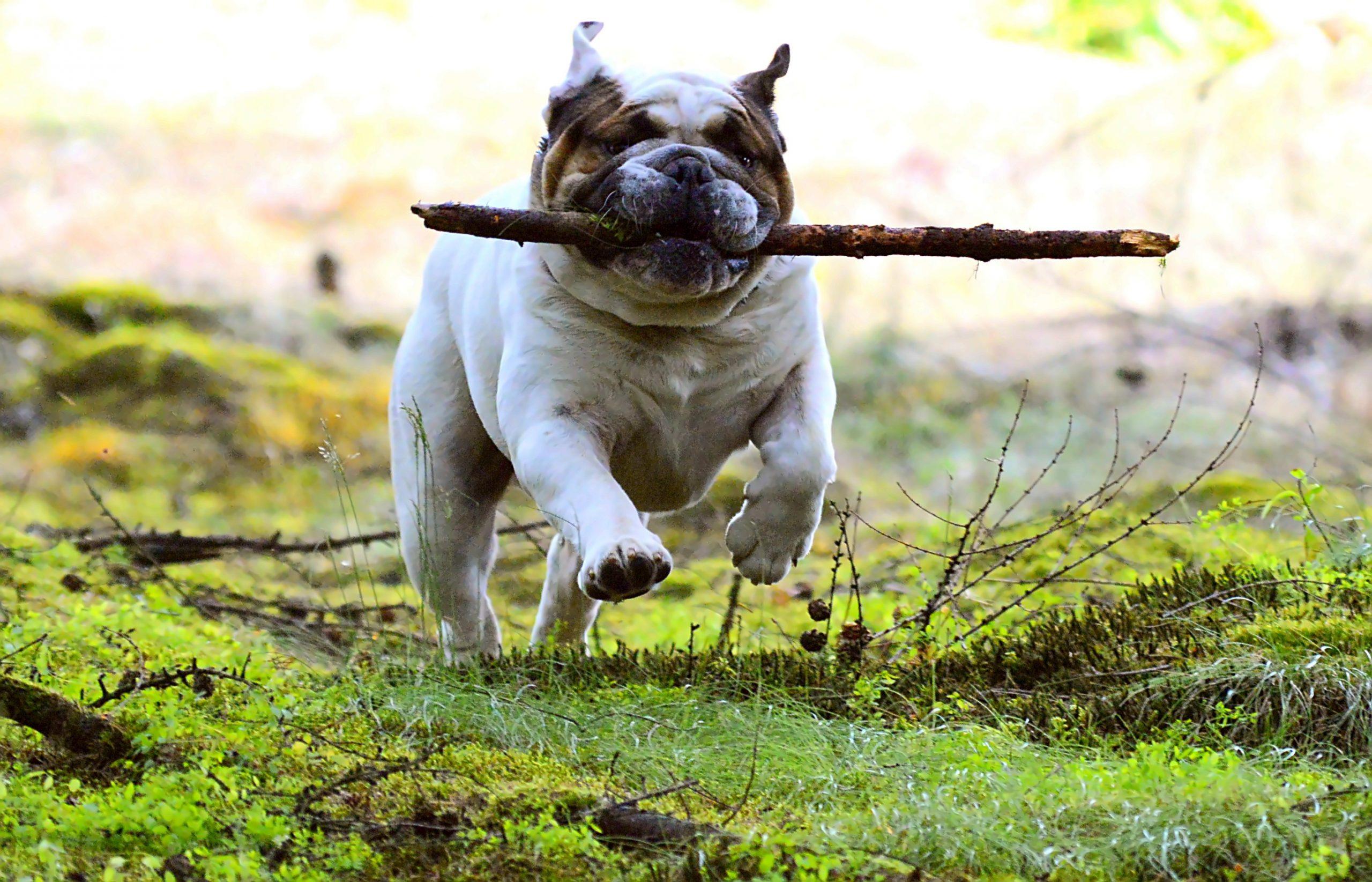 bulldog running with stick