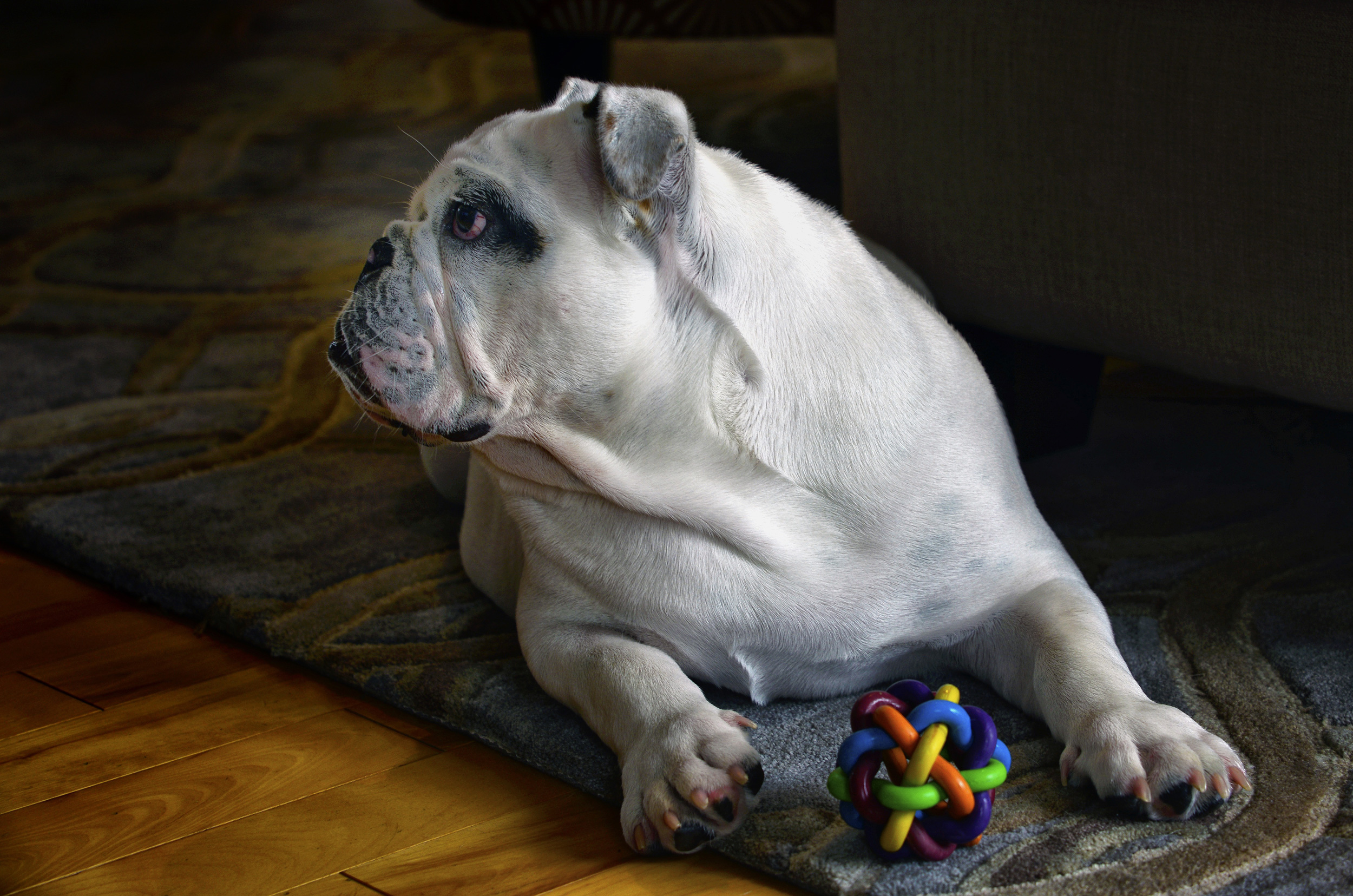 white bulldog with toy lying down