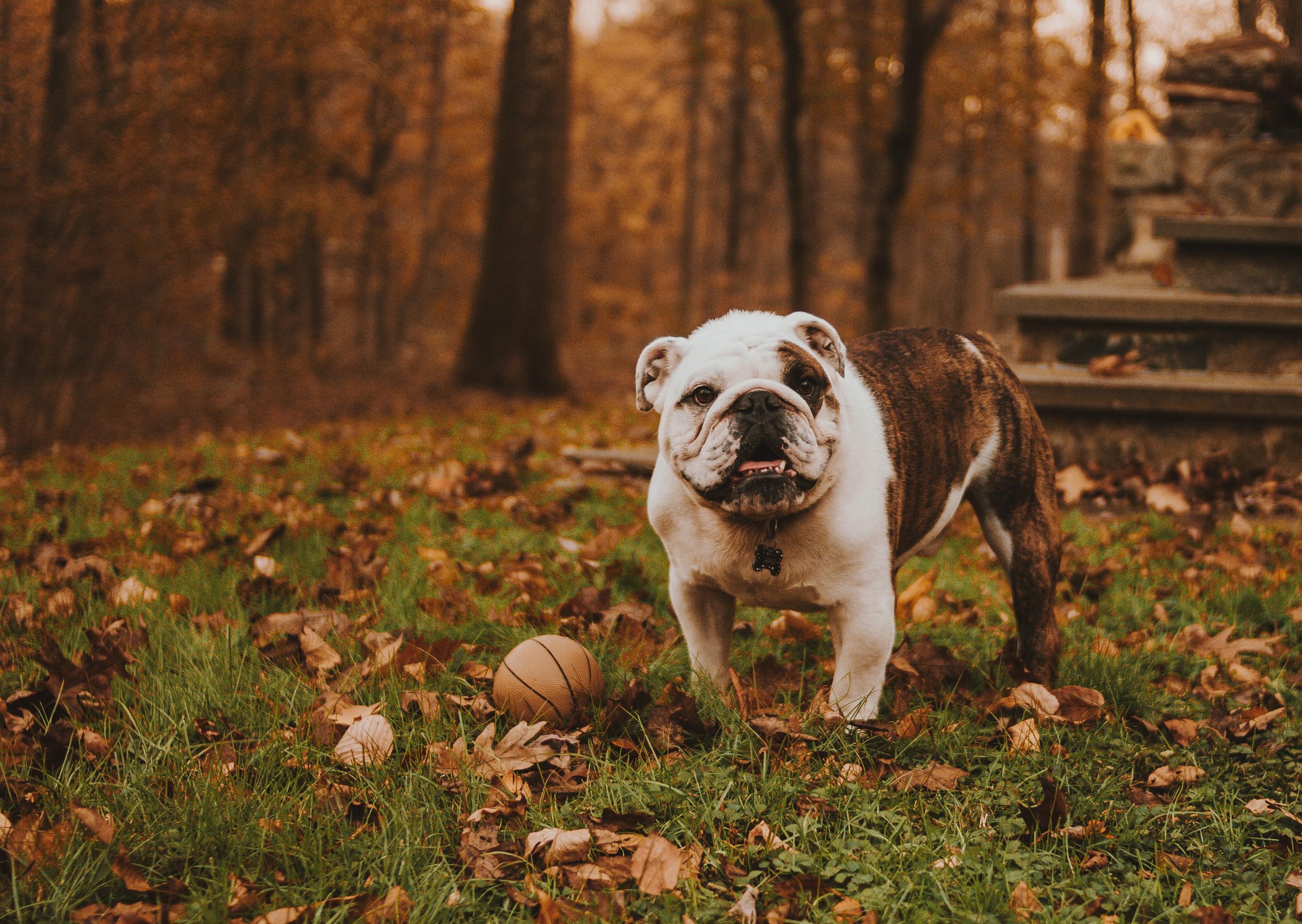 Bulldog photo by Rodolfo Sanches